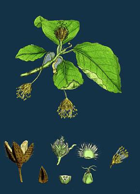 Botanica Drawing - Fagus Sylvatica Common Beech by English School