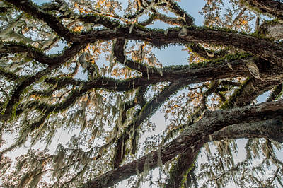 Photograph - Fairchild Oak - Branches by Kathi Shotwell