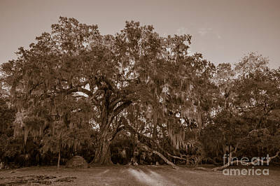 Photograph - Fairchild Oak - Face by Kathi Shotwell