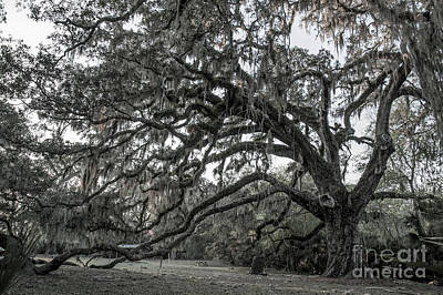 Photograph - Fairchild Oak - Profile by Kathi Shotwell