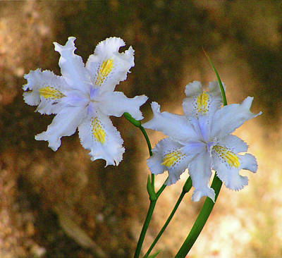 Photograph - Fairy Irises by Margaret Saheed