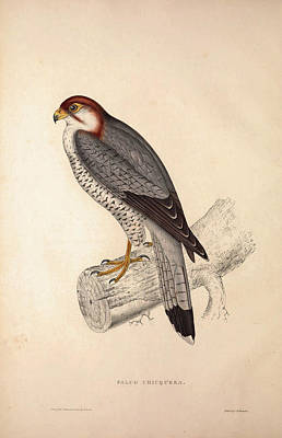 Asian Artist Drawing - Falco Chicquera, Red-necked Falcon Or Red-headed Merlin by Quint Lox
