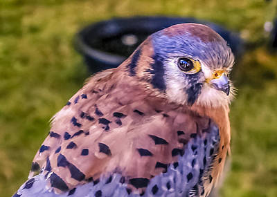 Sparrowhawk Photograph - Falco Sparverius by Rob Sellers
