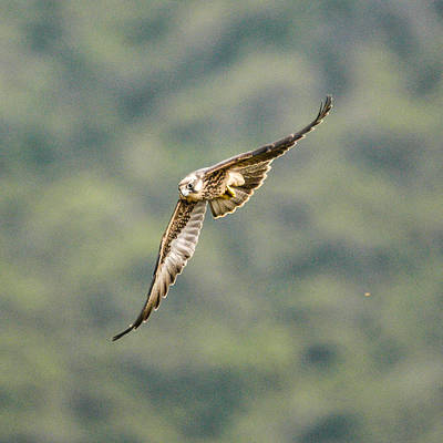 Photograph - Falcon by Alistair Lyne