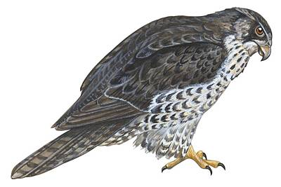 Hawk Painting - Falcon by Anonymous