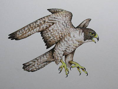 Drawing - Falcon by Catherine Howley