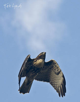 Photograph - Falcon Flight by Kate Lynch