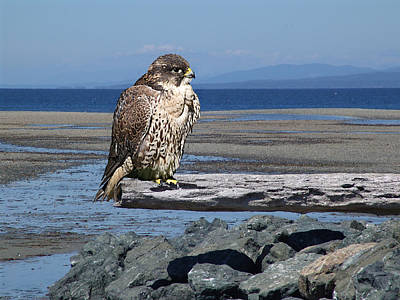 Photograph - Falcon On A Log by George Cousins