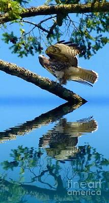 Photograph - Falcon Reflect by Susan Garren