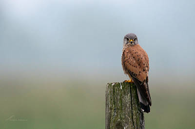 Falcon The Kestrel Art Print
