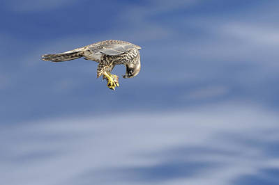 Photograph - Falcon With Prey by Bradford Martin