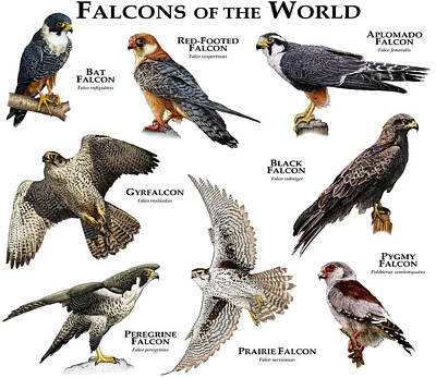 Aplomado Falcon Wall Art - Photograph - Falcons Of The World by Roger Hall