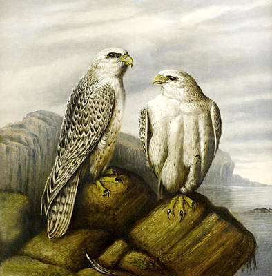 Animals Digital Art - Falcons On A Rock by Joseph Wolf