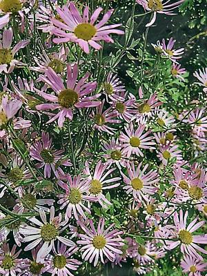 Digital Art - Fall Aster 3 by Doug Morgan