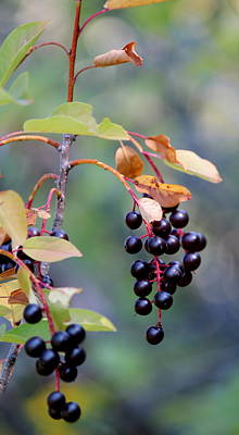Photograph - Fall Berries #2 by Gina Gahagan
