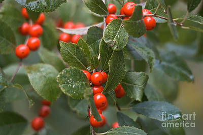 Photograph - Fall Berries by Cheryl Baxter