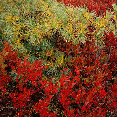 Photograph - Fall Blueberries And Pine-sq by Tom Daniel
