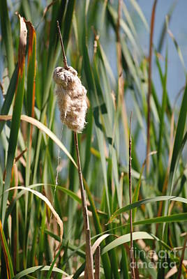 Photograph - Fall Cattail by Mark McReynolds