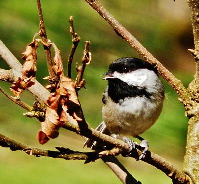 Photograph - Fall Chickadee by VLee Watson