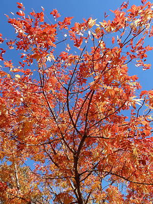 Pistache Tree Photograph - Fall Color by Christopher Chapman