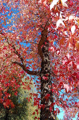 Photograph - Fall Colored Maple Tree by Debra Thompson
