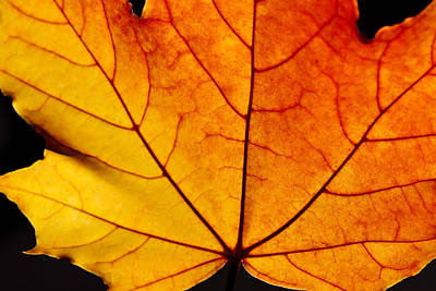 Photograph - Fall Colors Maple Leaf by Charles Lupica