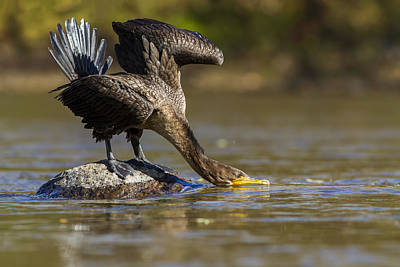Quebec Fauna Photograph - Fall Cormorant by Mircea Costina Photography