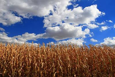 Cornfield Photograph - Fall Corn Stalks And Blue Skies by Dan Sproul