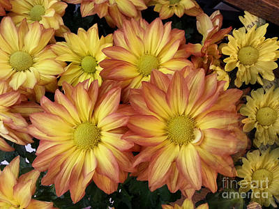 Photograph - Fall Daisies by Donna Brown
