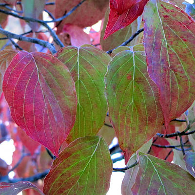 Photograph - Fall Dogwood Leaf Colors 1 by Duane McCullough