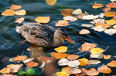 Photograph - Fall Duck by Trever Miller