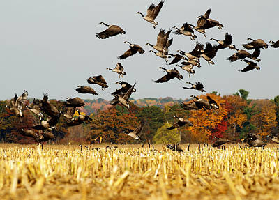Flock Of Geese Photograph - Fall Feast by Thomas Young
