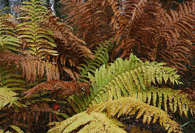 Photograph - Fall Ferns Acadia National Park Img 6355 by Greg Kluempers