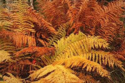 Photograph - Fall Ferns Acadia Np Maine Img 6355 by Greg Kluempers