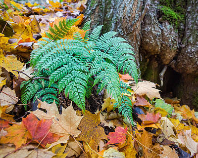Photograph - Fall Ferns by Bill Pevlor