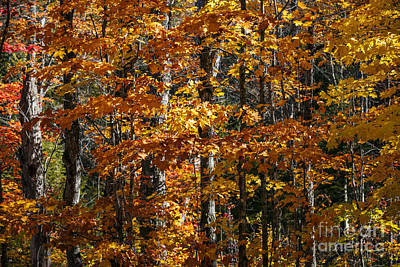 Algonquin Provincial Park Photograph - Fall Forest With Orange Leaves by Elena Elisseeva