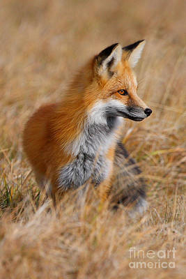 Photograph - Fall Fox by Bill Singleton