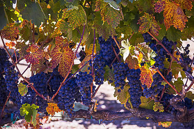 Grape Leaves Photograph - Fall Grape Harvest by Garry Gay