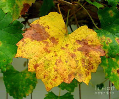 Photograph - Fall Grape Leaf by Lew Davis