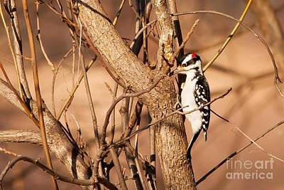 Hairy Woodpecker Photograph - Fall Hairy Woodpecker by Natural Focal Point Photography