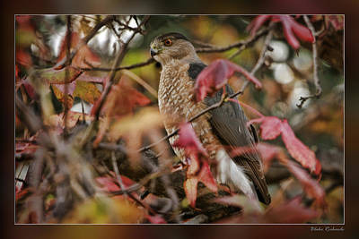 Gallery Website Photograph - Fall Hawk by Blake Richards