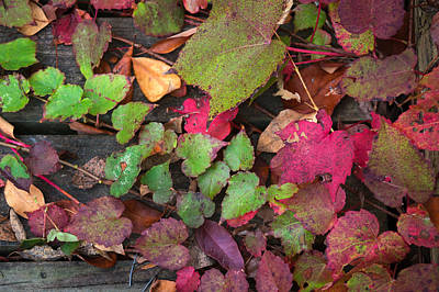 Art Print featuring the photograph Fall Ivy by Wayne Meyer