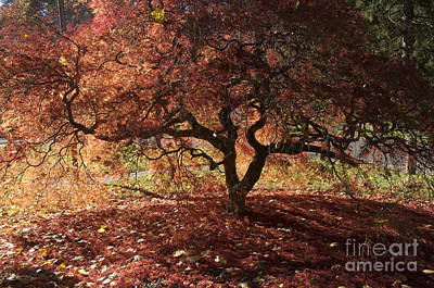 Photograph - Fall Japanese Maple by Mark Messenger