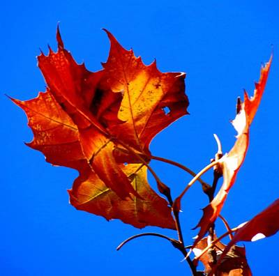 Fall Leave Art Print by David  Norman