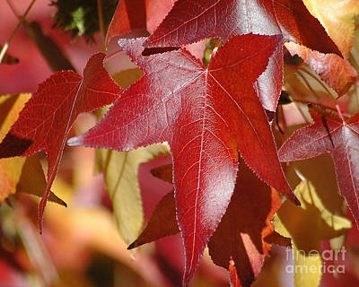 Photograph - Fall Leaves I by Robert  Suggs