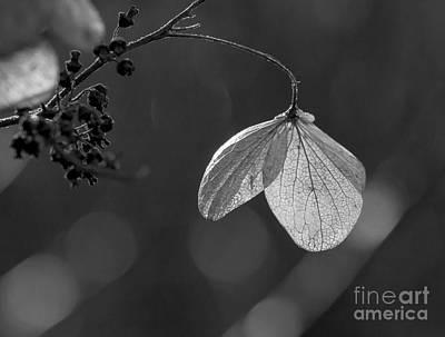 Photograph - Hydrangea Flower Uw Arboretum Madison Wisconsin by Steven Ralser