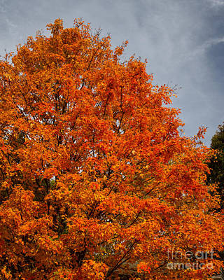 Photograph - Fall Maple by Dale Nelson