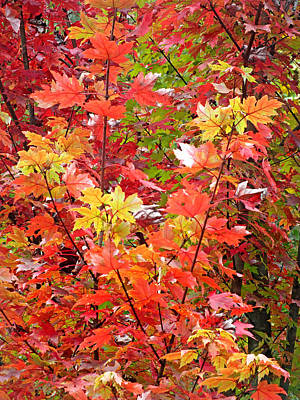 Photograph - Fall Maple Leaves 3 by Duane McCullough