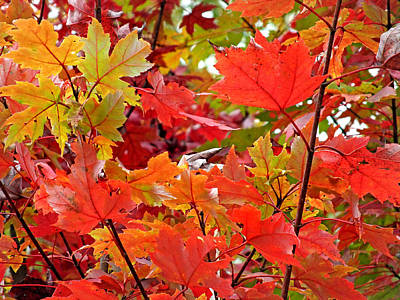 Photograph - Fall Maple Leaves 4 by Duane McCullough