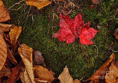 Photograph - Fall Maple Leaves by Jim Crawford